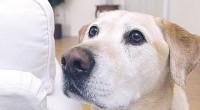 En Gran Bretaña están entrenando perros para ayudar a las personas diabéticas cuando estas sufran caídas peligrosas en el nivel de azúcar en sangre.