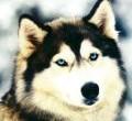 ¿Qué tipo de influencia tiene el carácter del dueño sobre su perro? El carácter del perro adulto dependerá del tipo de personalidad de los dueños. O lo que es lo mismo, lo que mas influye en la manera de ser de un perro es la manera de ser del dueño […]