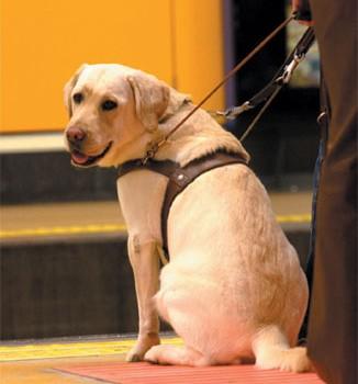 ¿Sabes cómo actuar frente a un perro guía? Hola, soy un perro guía y me gustaría enseñarte cómo debes actuar cuando te encuentres con un perro guía en compañía de mi compañero ciego.