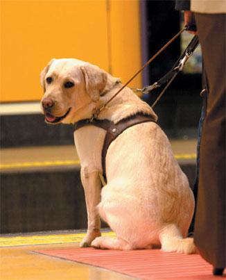 Perro guía sentado