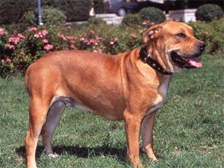 Dogo Mallorquín