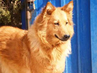 Saber algo más sobre nuestras razas caninas españolas