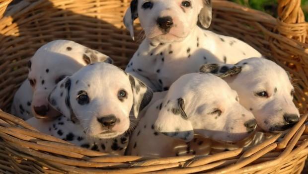 El perro aprende desde el primer día que nace, y está aprendiendo toda la vida aun sin que nosotros lo apreciemos. En este aryículo te ofrecemos 10 consejos básicos para educar bien a un cachorro.