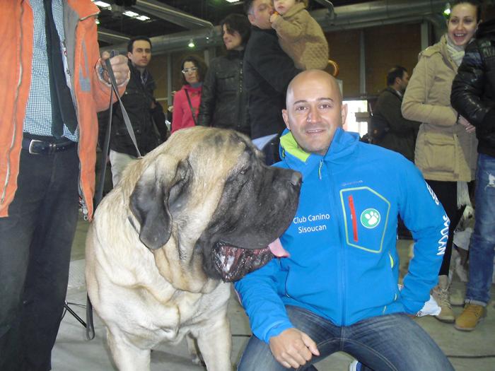 Mastiff de 120 kgs